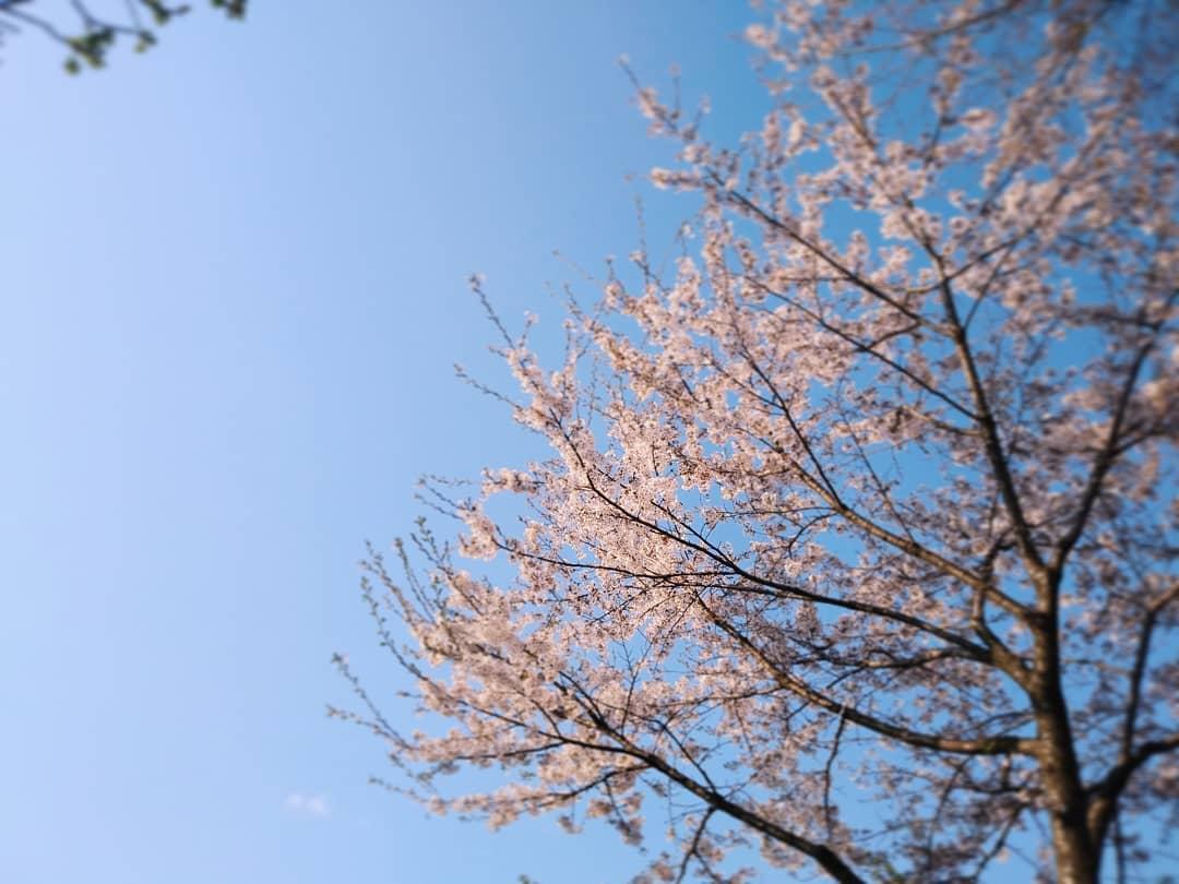 原村店デッキの桜、風にのって店内にも花びらがちらほら.. ~明日、5/3(日) 10時よりオープンいたします~ #ストーブハウス原村 #原村 #八ヶ岳 #桜 #花びら #薪ストーブ#薪ストーブのある暮らし #山の暮らし #キッチン道具 #アウトドア #いい天気